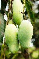 närbild av mango