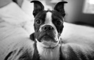 boston terrier på nära håll foto
