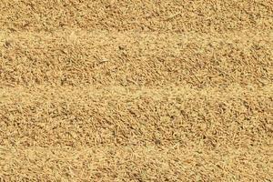 närbild risfält. foto