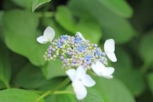 hortensia blomma på nära håll foto