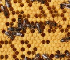 honungskam och en bin som arbetar foto