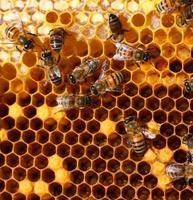 honungskam och ett bi foto