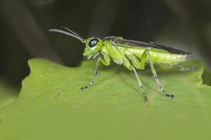 sågflygen (tenthredo mesomela) foto