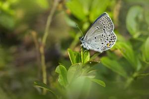 den lilla blå (cupido minimus) foto