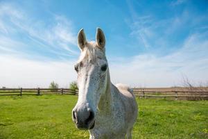 inhemsk arabisk häst foto