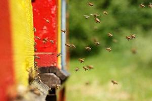 tämjade honungsbin som återvänder till deras bigård foto