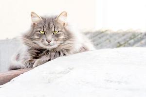 randig katt med långt hår foto