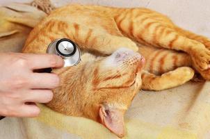 katt hos veterinär foto