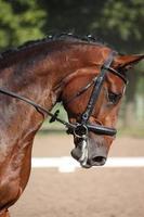 vacker sport häst porträtt under dressyr test foto