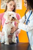 veterinär lyssnar på sjuk hund med stetoskop foto
