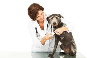 veterinär som tar hand om skadad hund foto