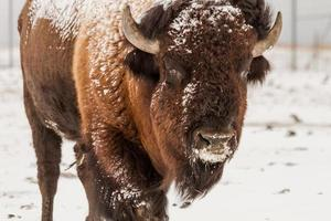 stor manlig buffel foto