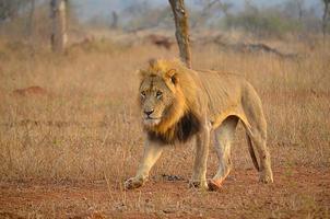 manlig lejon promenader foto