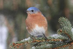 manlig östra blåfågel i snö foto
