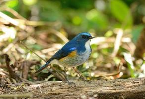 manlig himalayan bluetail (tarsiger rufilatus)