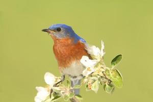 manlig östra blåfågel (sialia sialis) foto