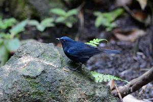 manlig vit-tailed robin (cinclidium leucurum) foto