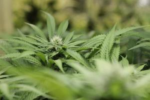 medicinsk marijuana växt2 foto