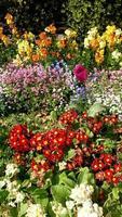 tulpan och blomsterbädd foto