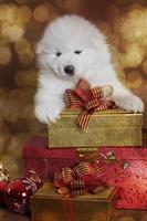 en månad gammal samoyed valphund med julklappar foto