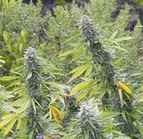 medicinsk marijuana, lagligt odlad foto