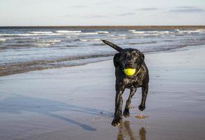 svart labrador hämtar bollen längs stranden foto