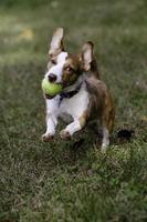 liten brun och vit hund som kör med bollen