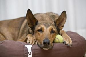 belgiska malinois som sover på tennisboll foto
