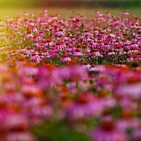 östra lila koneflower (echinacea purpurea) foto