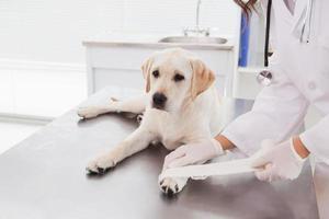 veterinär som gör ett bandage på hund foto