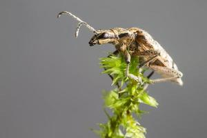 de svarta fläcktängerna stöder skalbaggen (rhagium mordax) foto