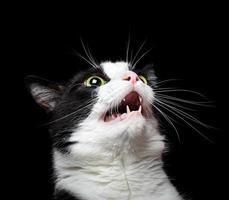 porträtt av en arg (eller förvånad) katt på svart bakgrund foto