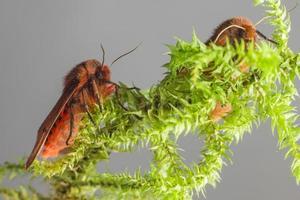 rubin tigrarna (phragmatobia fuliginosa) foto