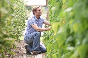 bonde som kontrollerar tomatväxter i växthus foto
