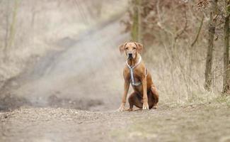ångest Rhodesian ridgeback hundvalp som sitter i vårbakgrund foto