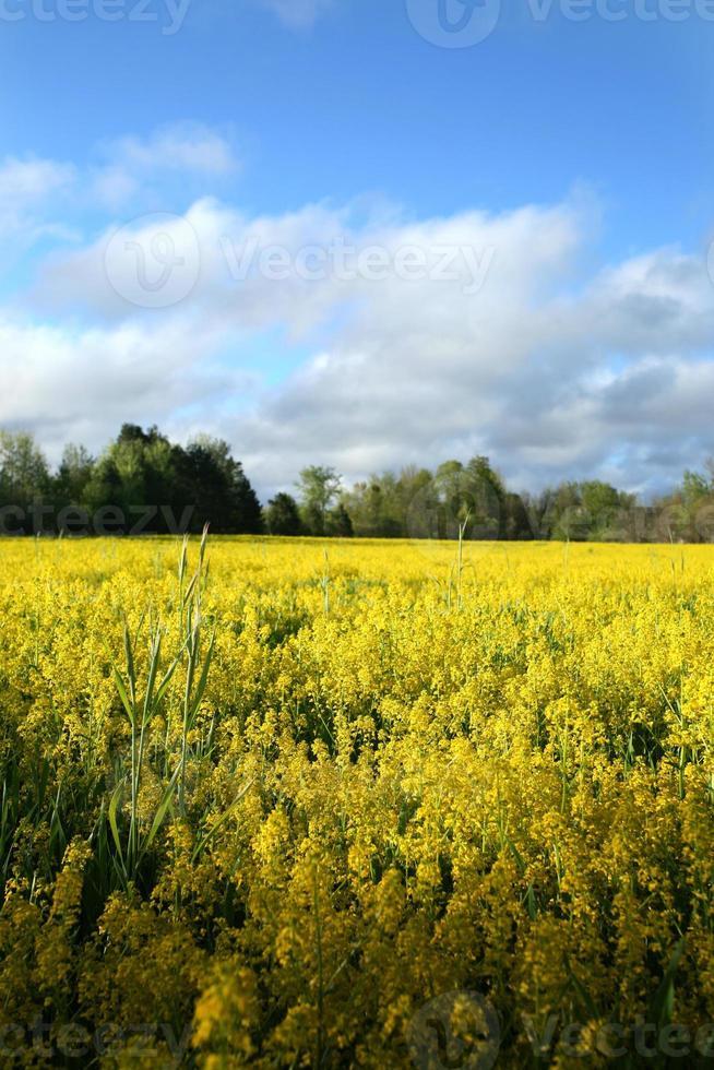 geel veld van bloemen foto