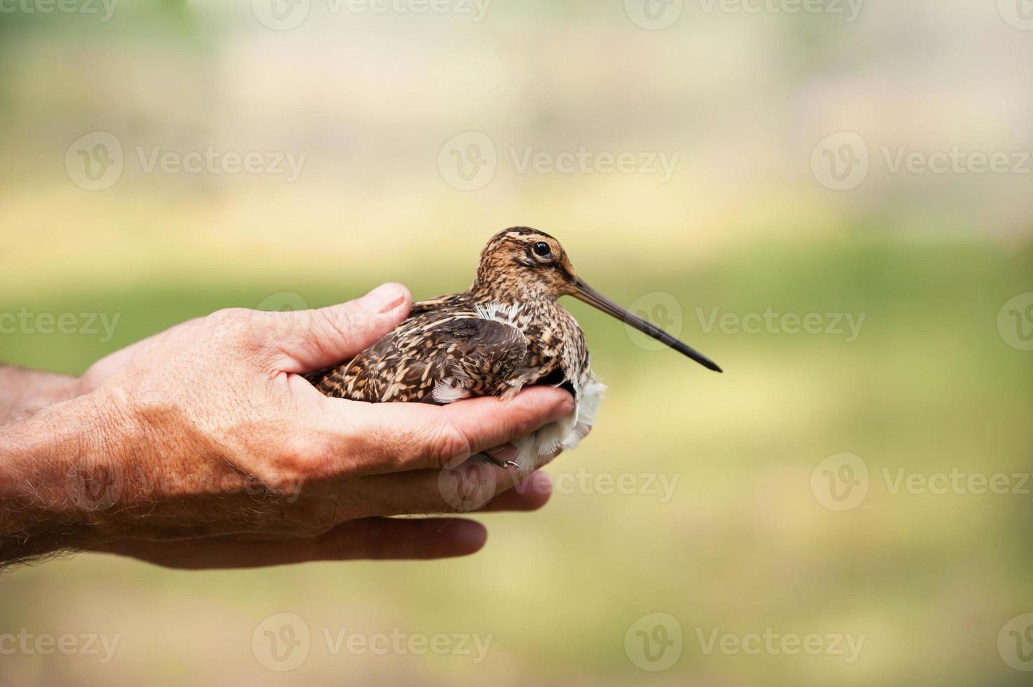 watersnip in de handen van foto