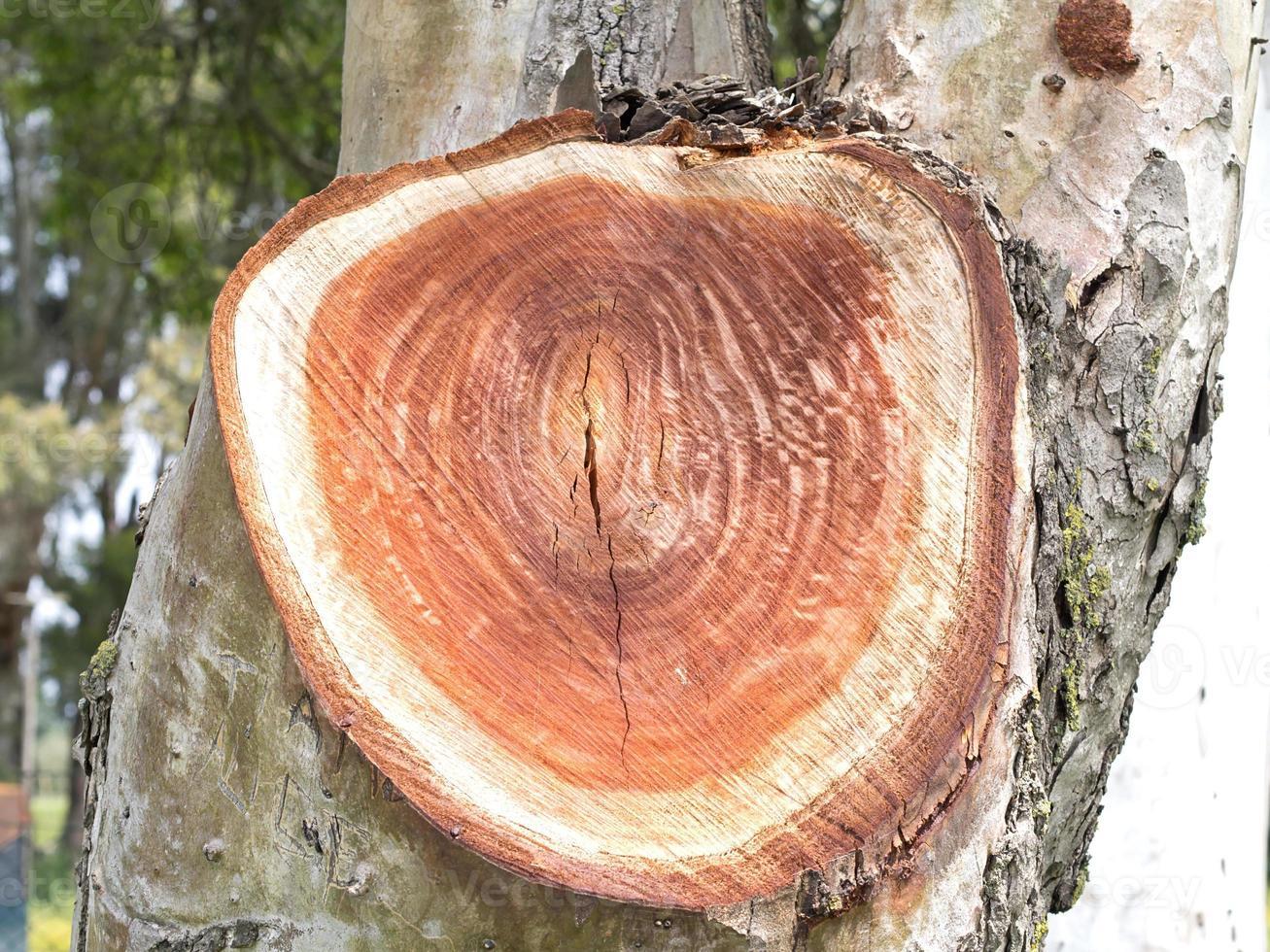 concentrische ringen in het hout van de boomstam foto