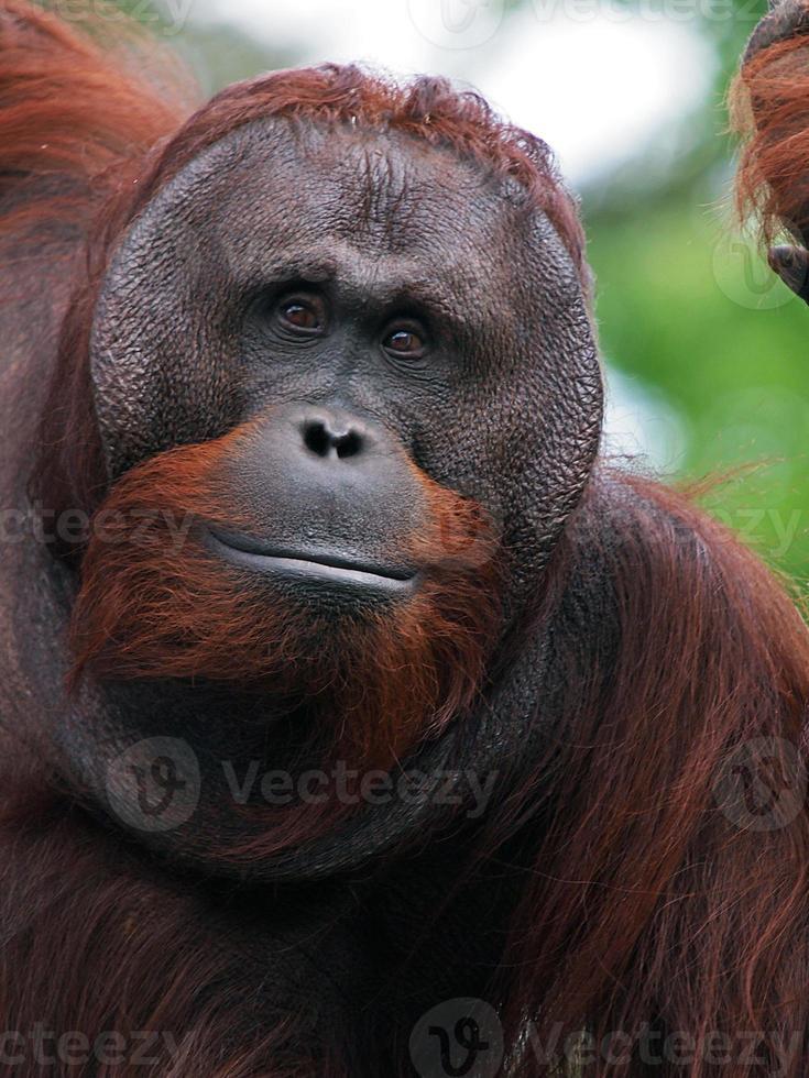 mannelijke orang-oetan foto
