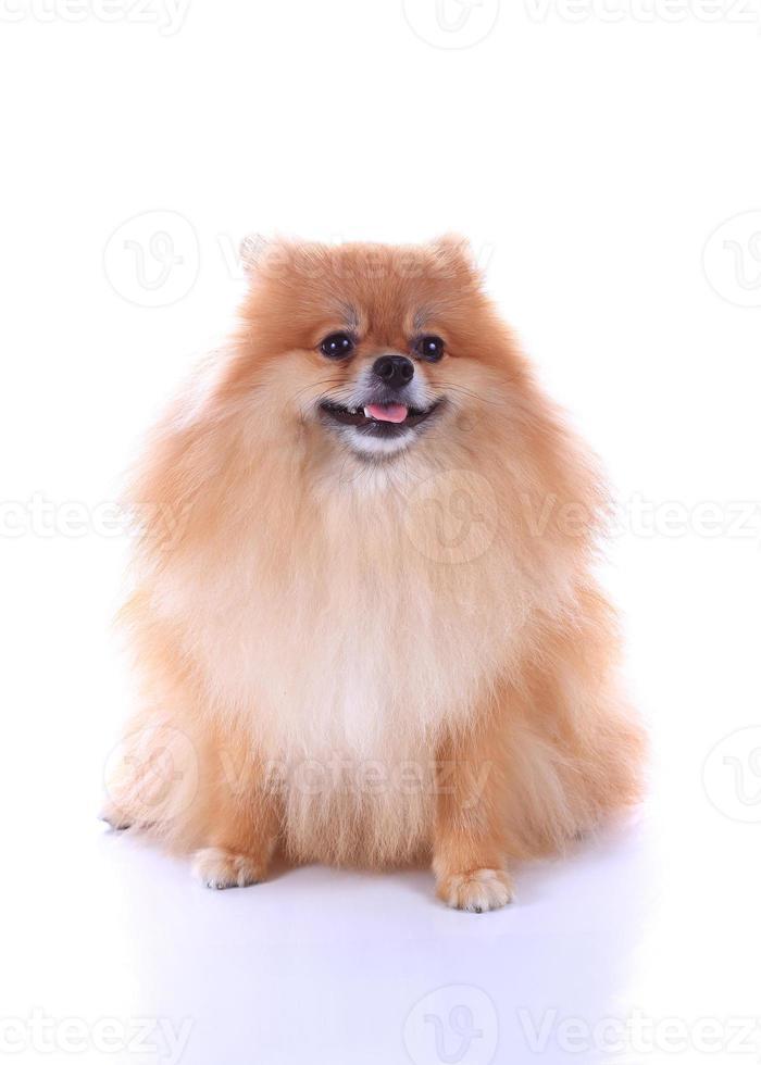 Pommeren hond geïsoleerd op een witte achtergrond foto