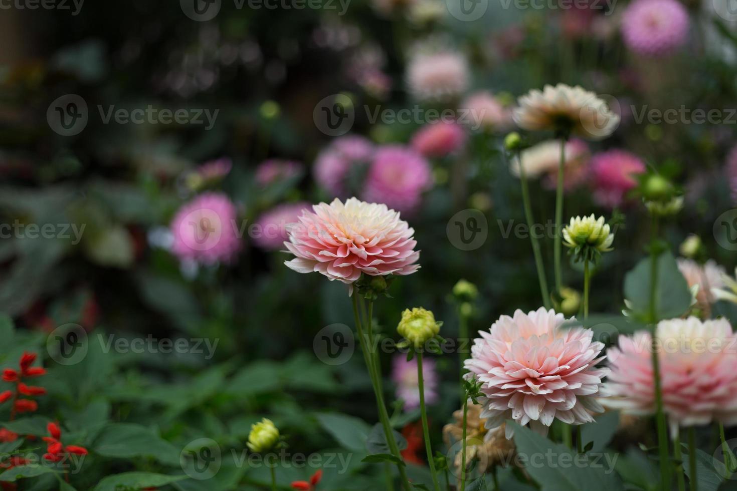 roze dahlia met groen blad in de achtergrond foto