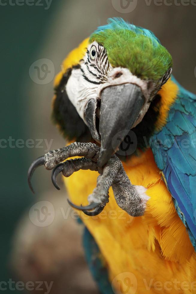 papegaai ara macao die zijn voet schoonmaakt foto