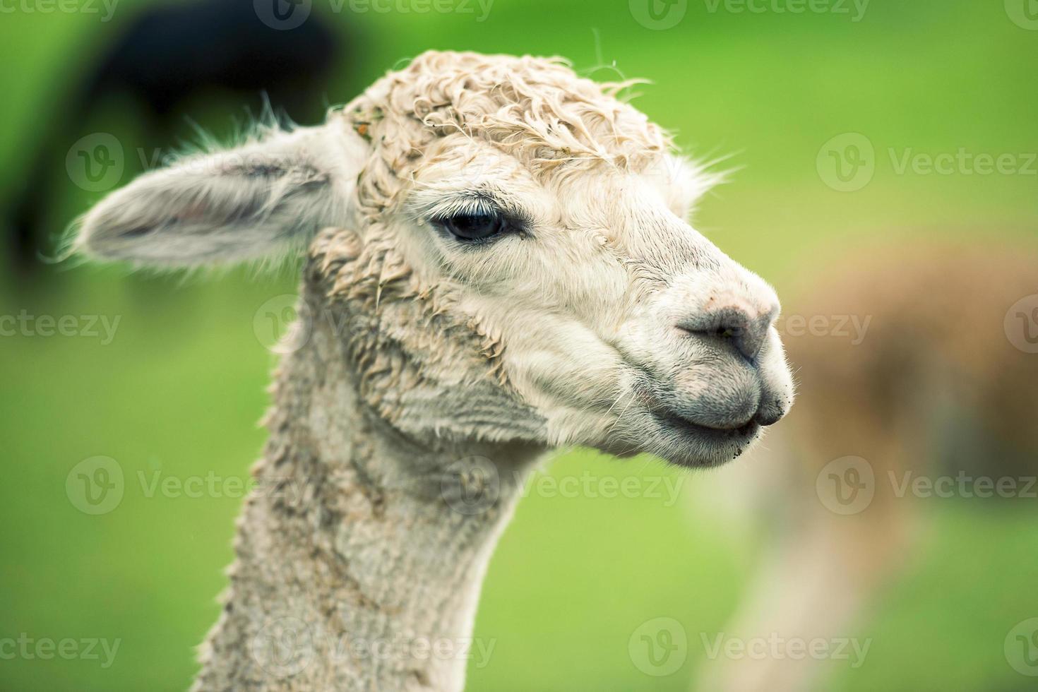 alpaca alleen in een veld foto