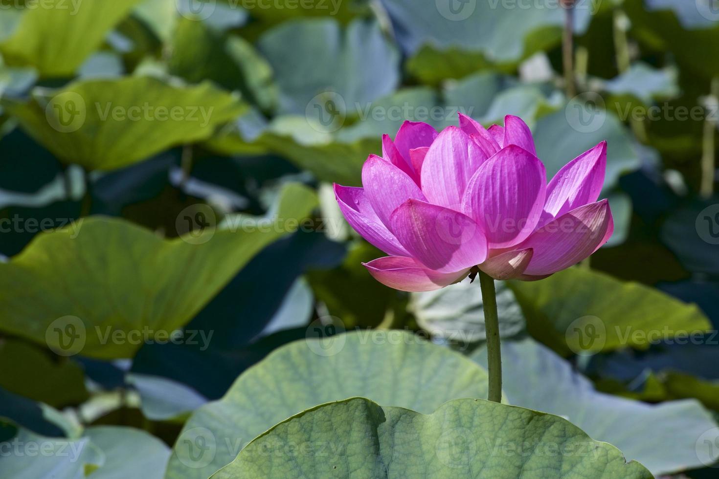 lotus die schijnt foto