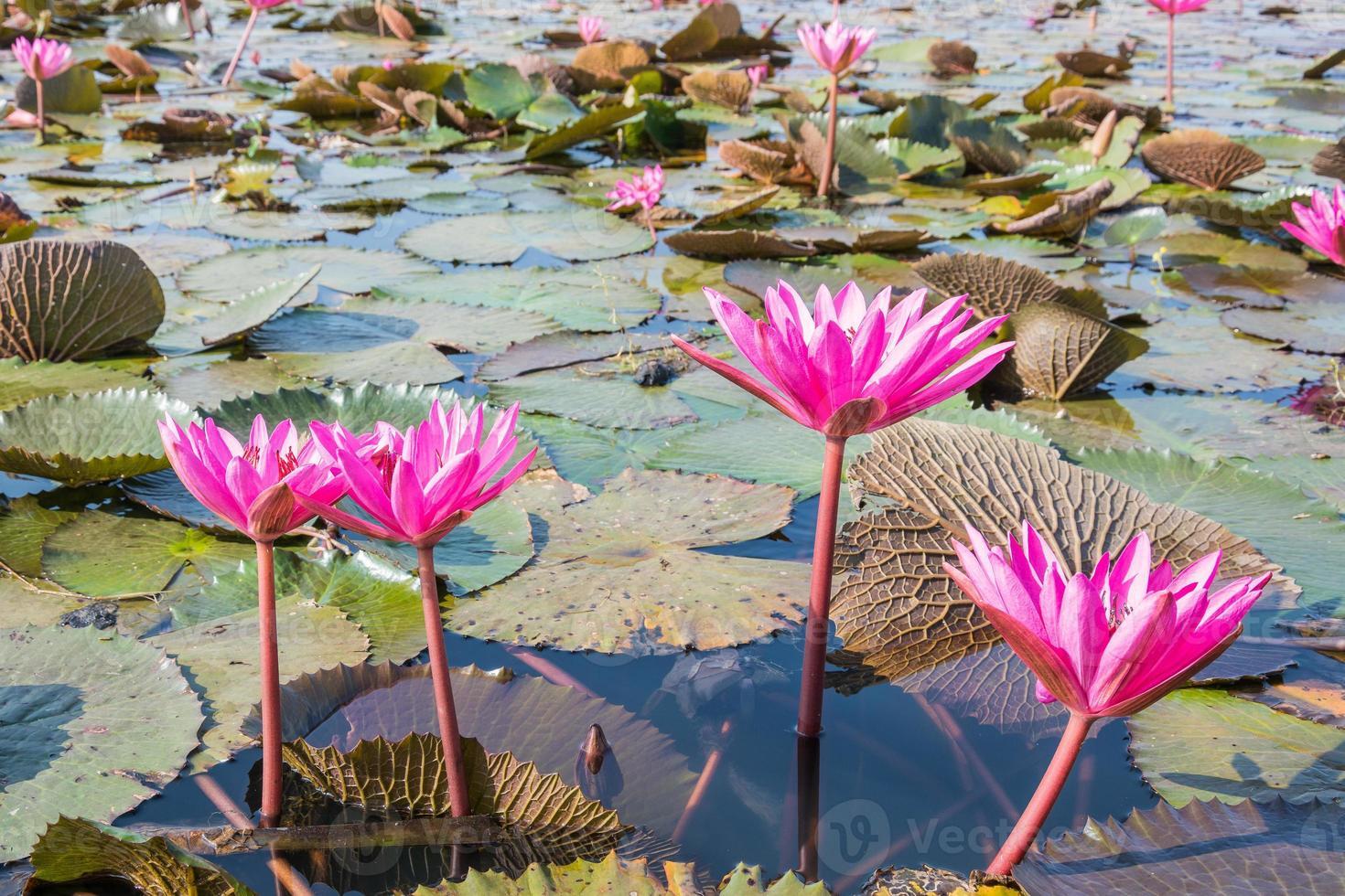 de prachtige bloeiende lotusbloem in het meer foto