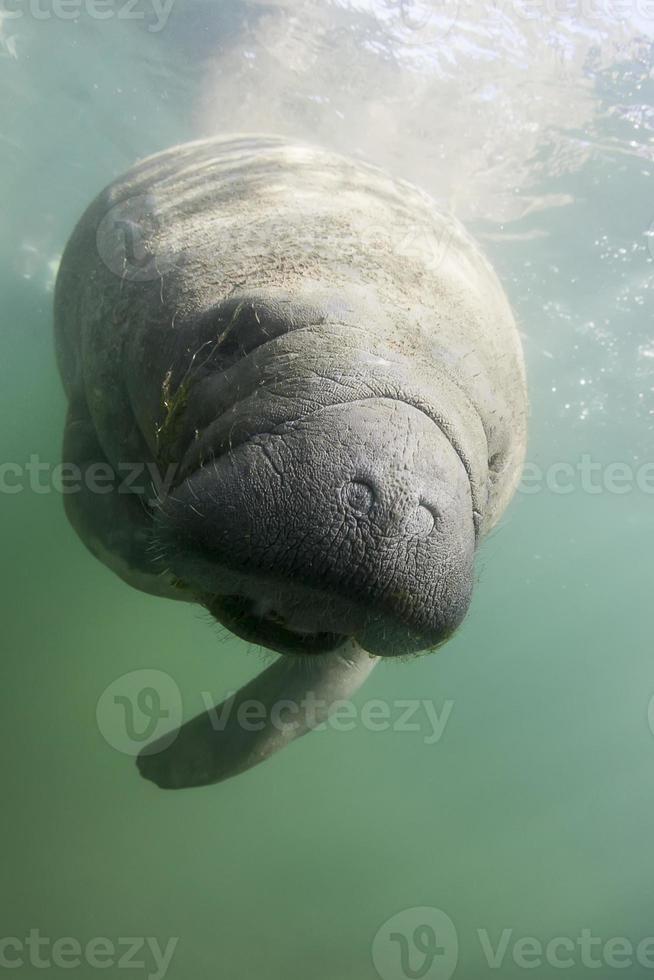 onderwater lamantijn foto