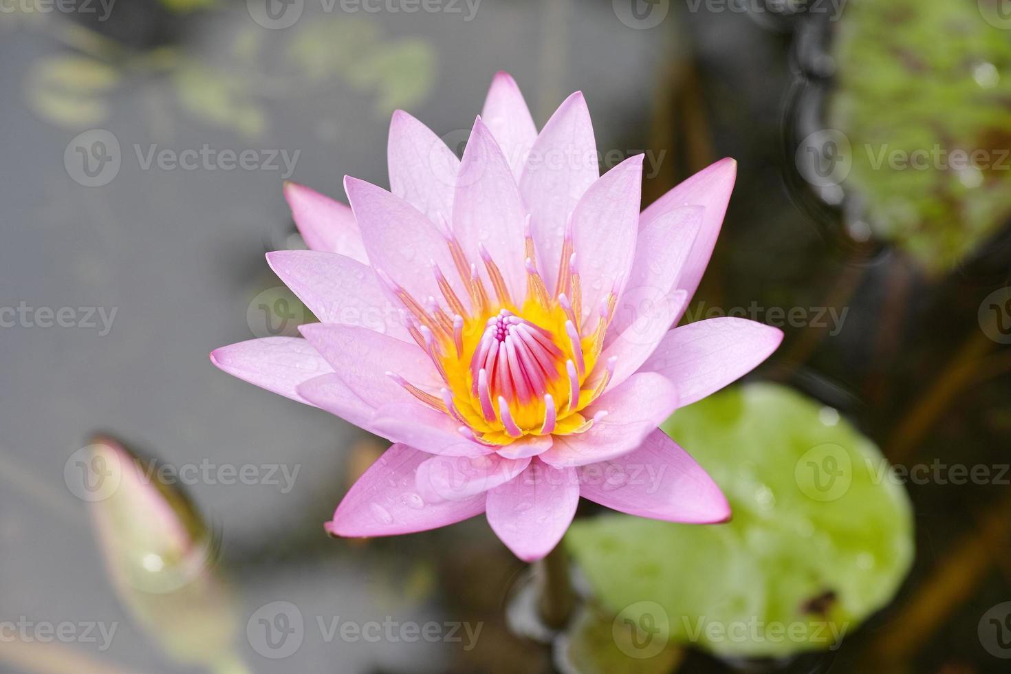 mooie roze lotusbloemen. foto