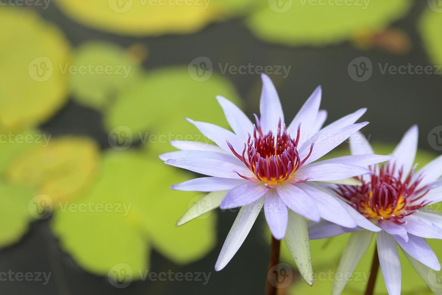 violet waterlelie foto