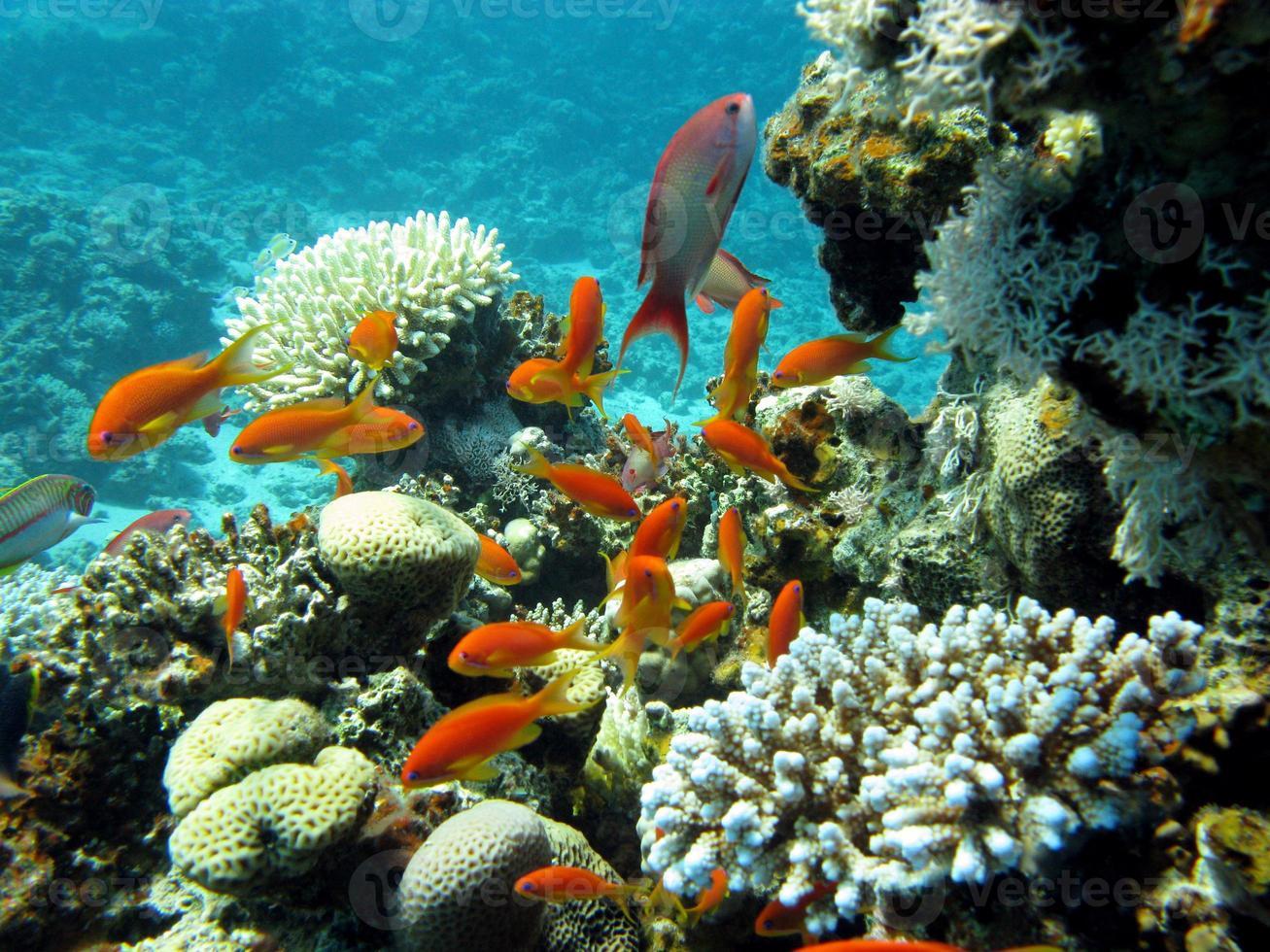 kleurrijke koraalrif met vissen anthias in tropische zee foto