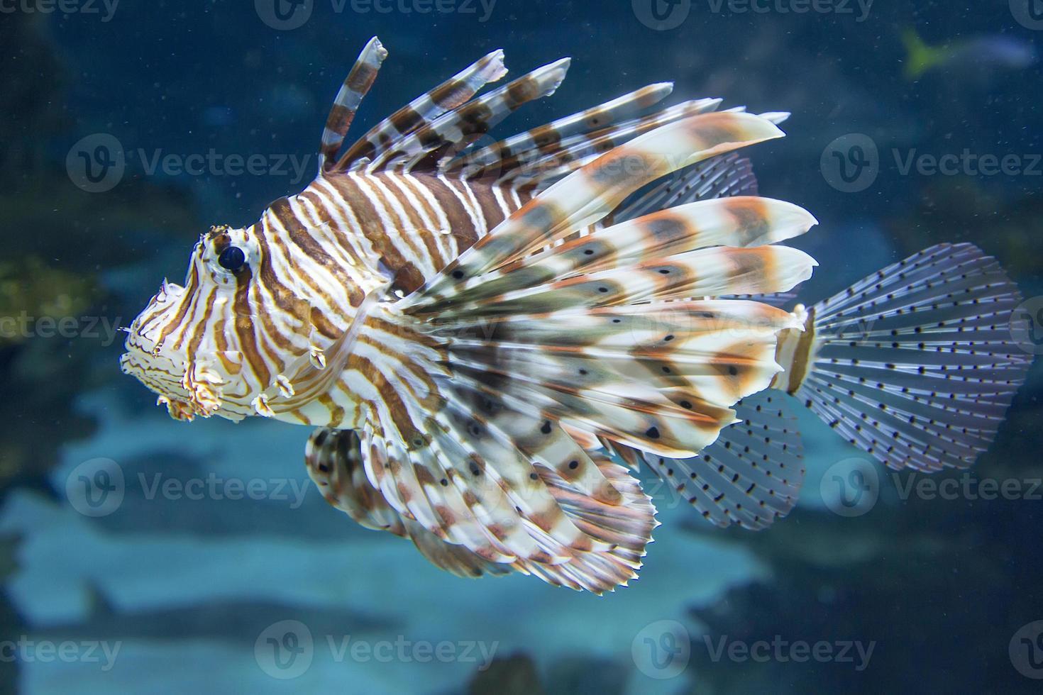 gewone koraalduivel foto